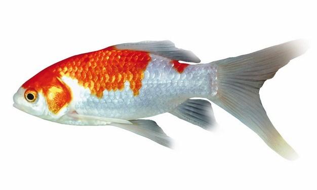 红白色的地图鱼947192png图片素材 生物自然-第1张