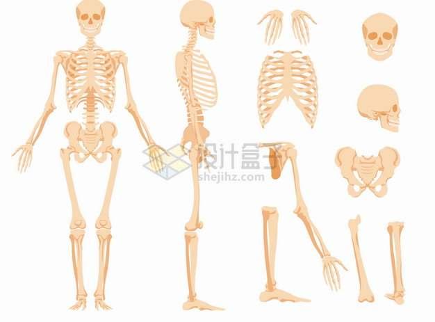 各种人体骨架骨骼人体机构图骷髅头胸椎骨大腿骨等png图片素材