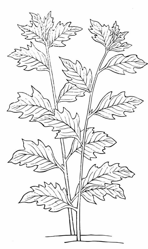 灰灰菜手绘插画799115png图片素材