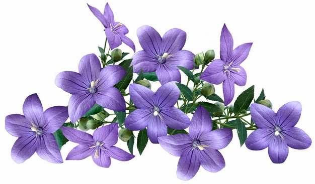 桔梗花紫色花朵122461png免抠图片素材