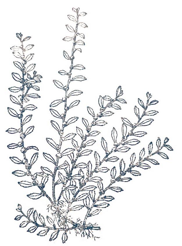 鹅不食草手绘插画129066png图片素材 生物自然-第1张