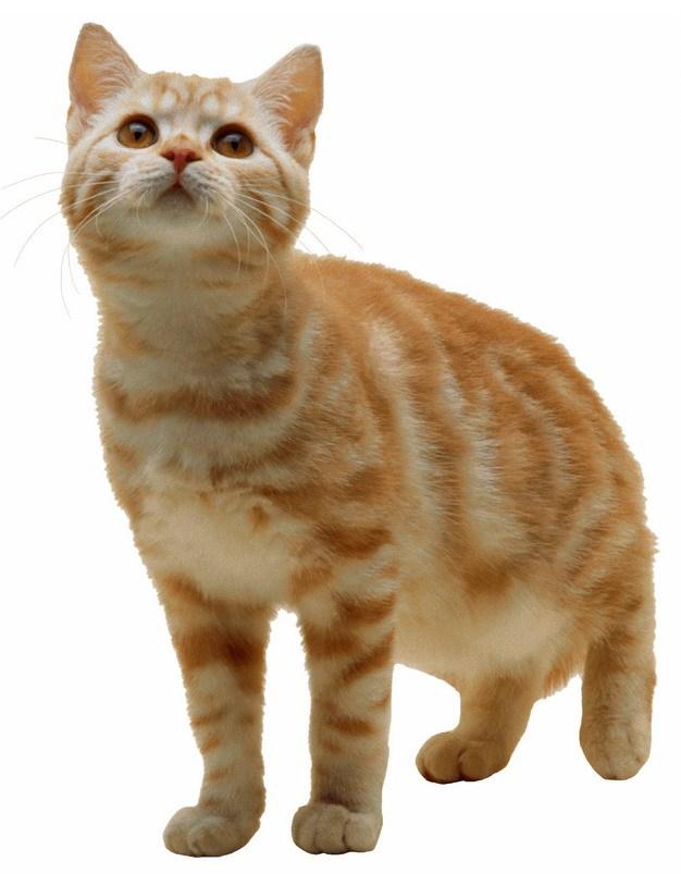 可爱的橘猫大黄猫397467png图片素材 生物自然-第1张