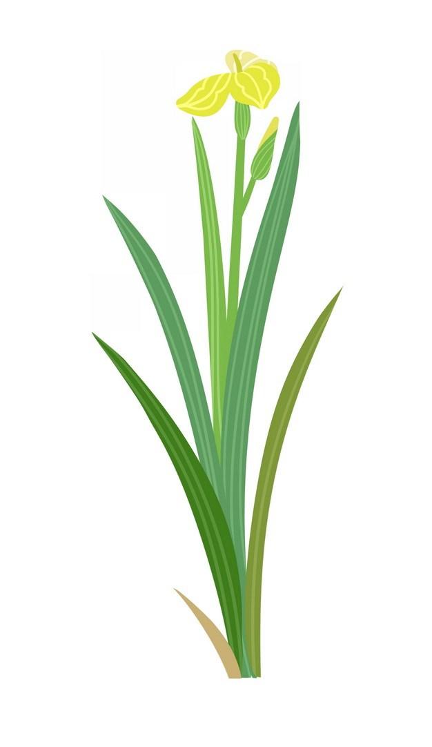 开了黄色小花的菖蒲406717png图片素材 生物自然-第1张