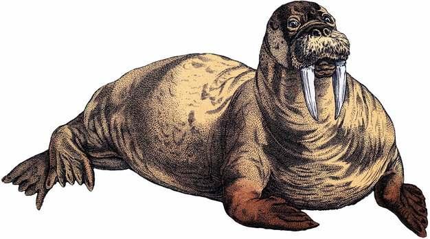 海象北极动物彩绘插画635768png图片素材