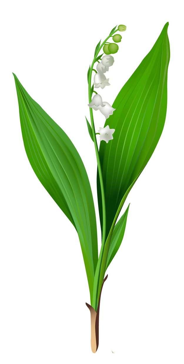 铃兰花白色小花朵254800png图片素材
