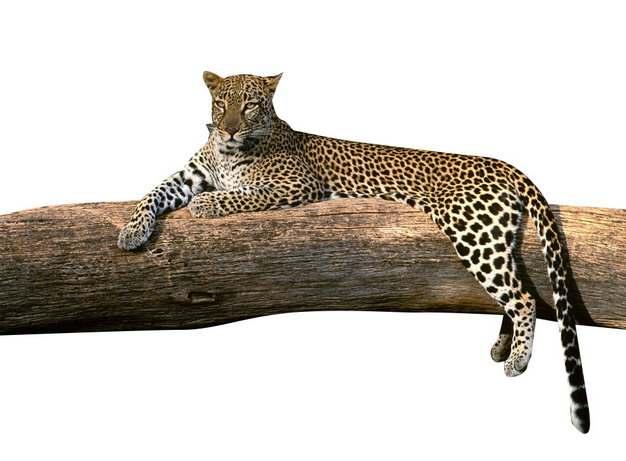 趴在树干上休息的花豹385376png图片素材