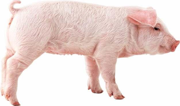 可爱的家猪小猪大白猪611080png图片素材