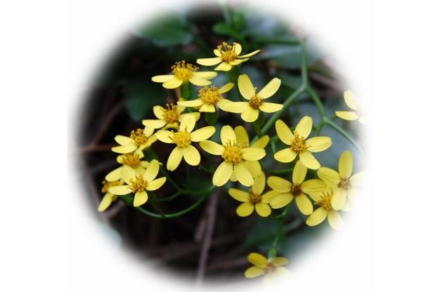 千里光花朵小黄花624180png图片素材 生物自然-第1张