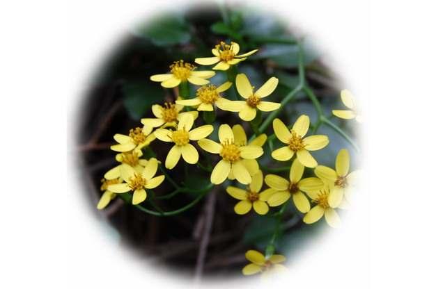 千里光花朵小黄花624180png图片素材