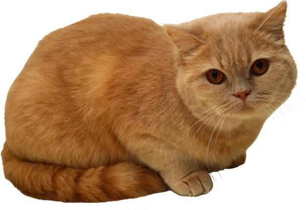 超可爱的金渐层品种猫咪橘猫459078png图片素材 生物自然-第1张