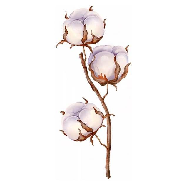 枝头上盛开的三朵棉花969425png免抠图片素材