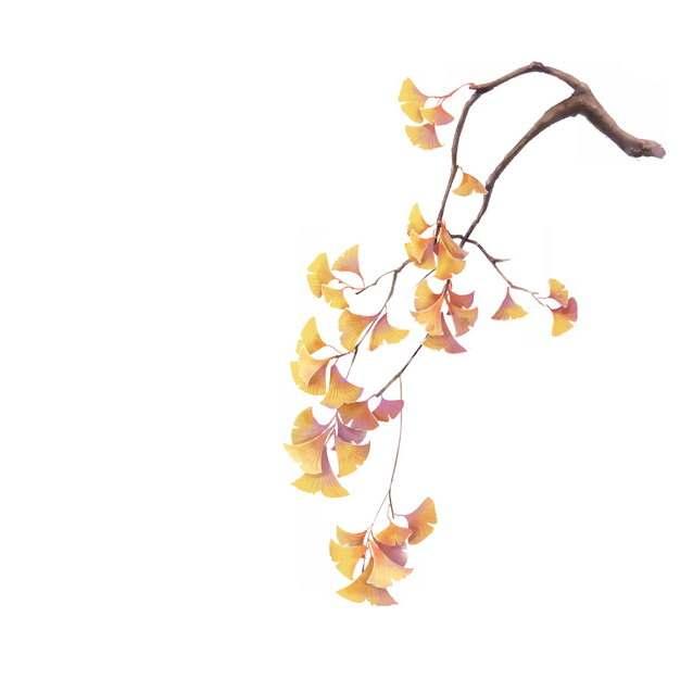 黄色的银杏树叶彩绘插画567939png图片免抠素材