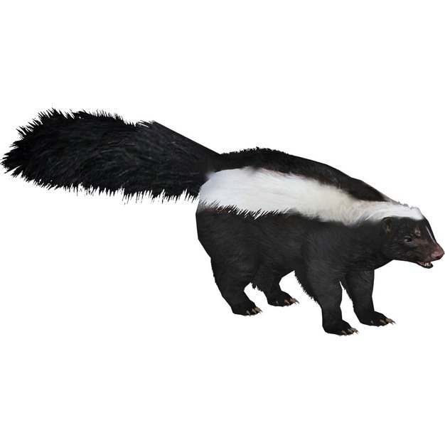 一只臭鼬野生动物373441png免抠图片素材