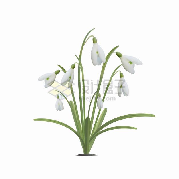 铃兰花白色下垂的花朵鲜花花卉png图片素材 生物自然-第1张