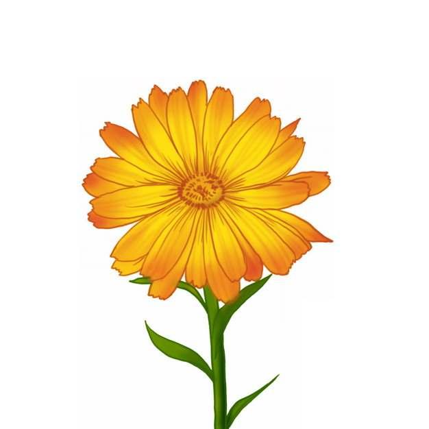 一朵金盏菊美丽花朵605178png免抠图片素材