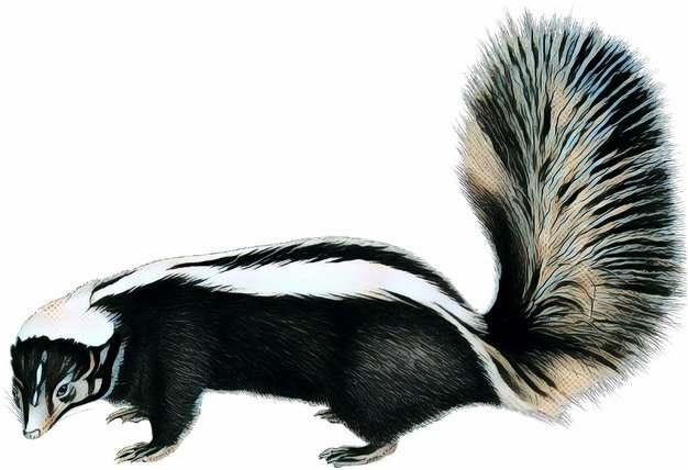彩绘风格臭鼬野生动物788044png免抠图片素材