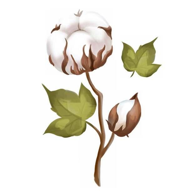 枝头上盛开的两朵棉花手绘插画423595png免抠图片素材