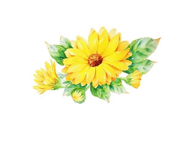 金盏菊水彩插画415531png免抠图片素材