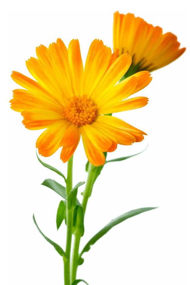 两朵金盏菊花朵鲜花114043png免抠图片素材