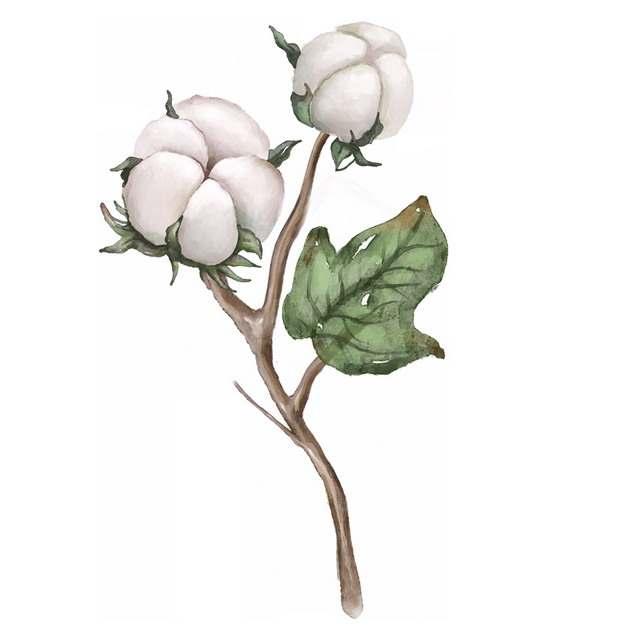 枝头上盛开的两朵棉花246334png免抠图片素材