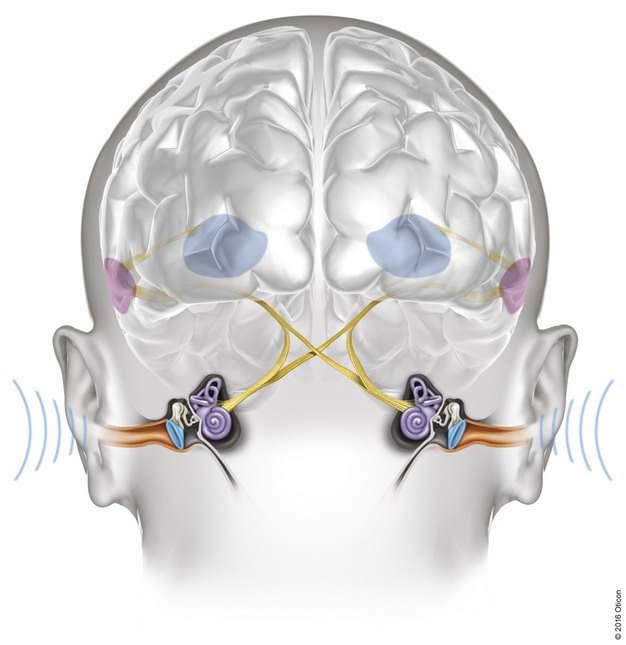 耳朵耳蜗结构耳鼓膜听骨和大脑声音处理原理428017png图片免抠素材