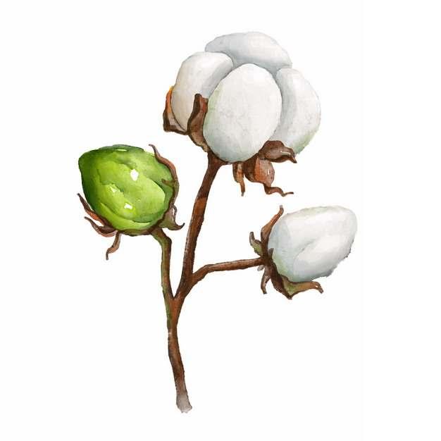 枝头上盛开的三朵棉花和花苞920225png免抠图片素材