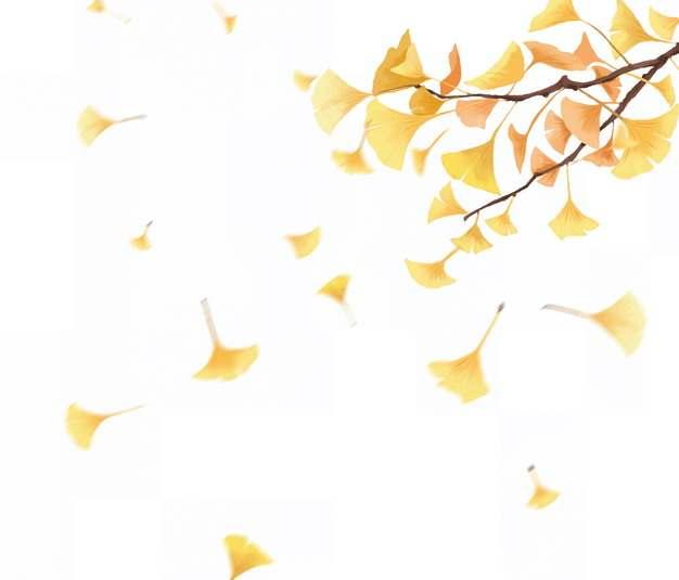 黄色的银杏树叶彩绘插画635687png图片免抠素材