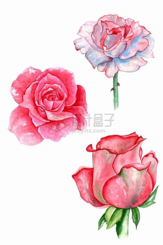 3朵粉色红色玫瑰花鲜花水彩插画png图片素材