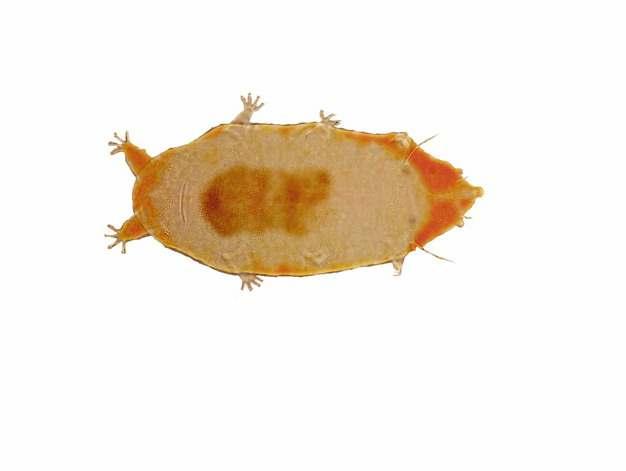 显微镜下的水熊虫缓步动物820693png图片素材