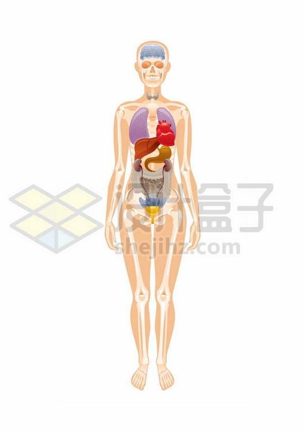 人体器官结构内脏骨骼结构129558矢量图片免抠素材