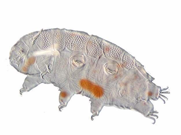显微镜下的水熊虫缓步动物988197png图片素材
