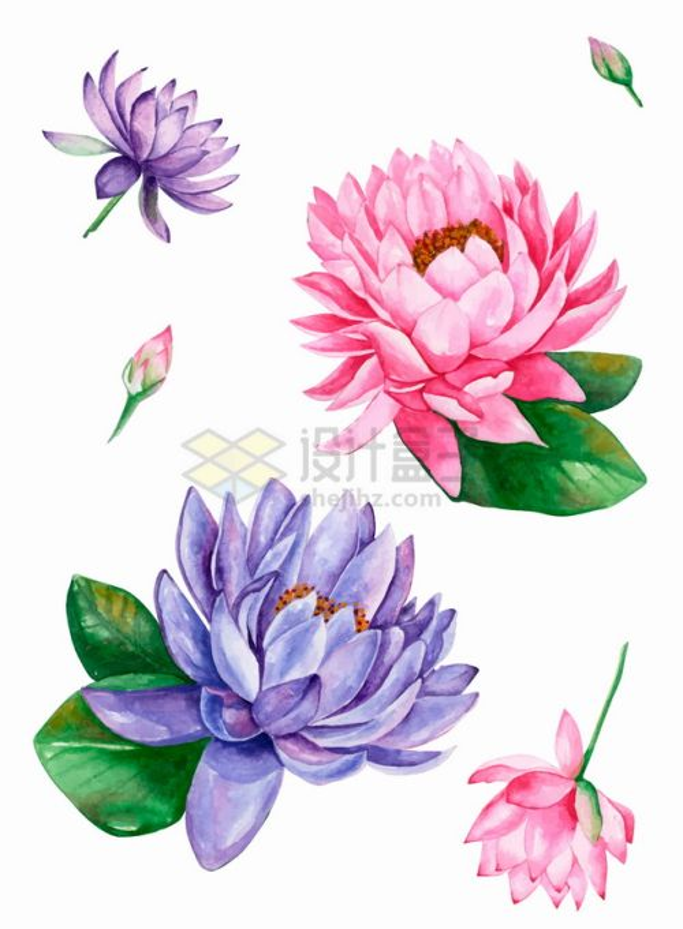 紫色粉色睡莲莲花水彩插画png图片素材