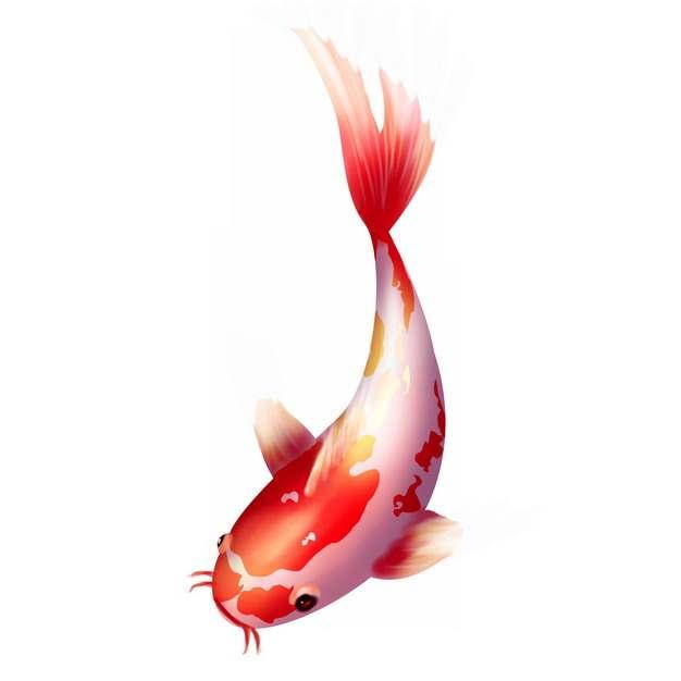 一条美丽的锦鲤鱼208186图片素材