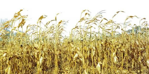 干枯的玉米地673830png图片素材