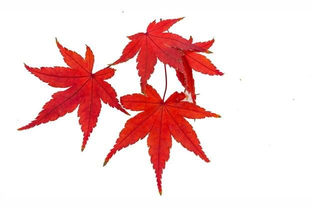 秋天里的几片火红的枫叶889421免抠图片素材 生物自然-第1张