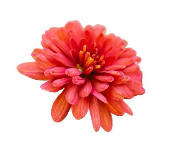 一朵红色小菊花423194png图片素材