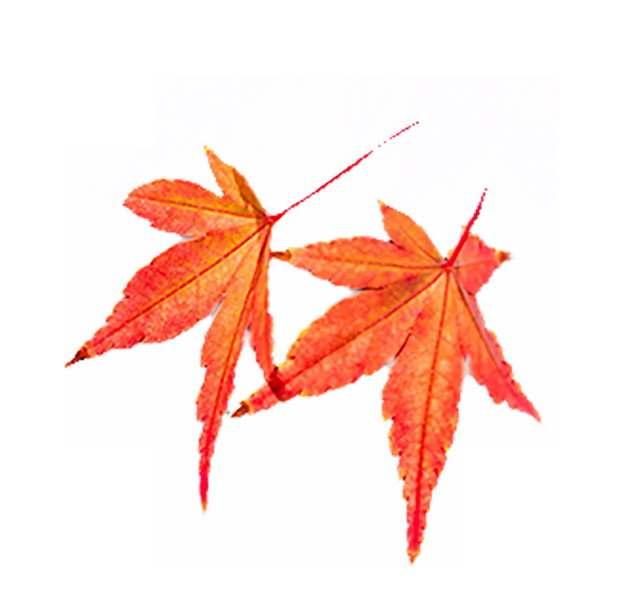 两个红色枫叶树叶237511png图片素材