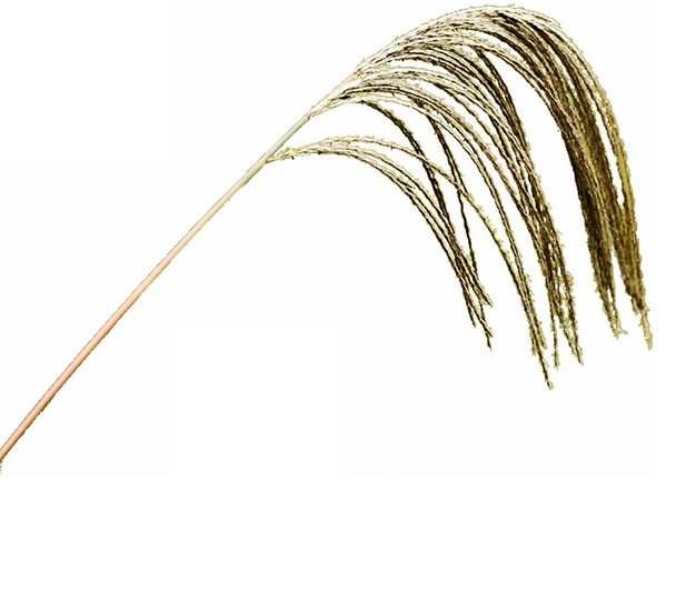 一根芦苇花189395png图片素材