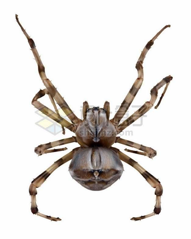 一只高清蜘蛛品种巨蟹蛛昆虫764893矢量图片免抠素材