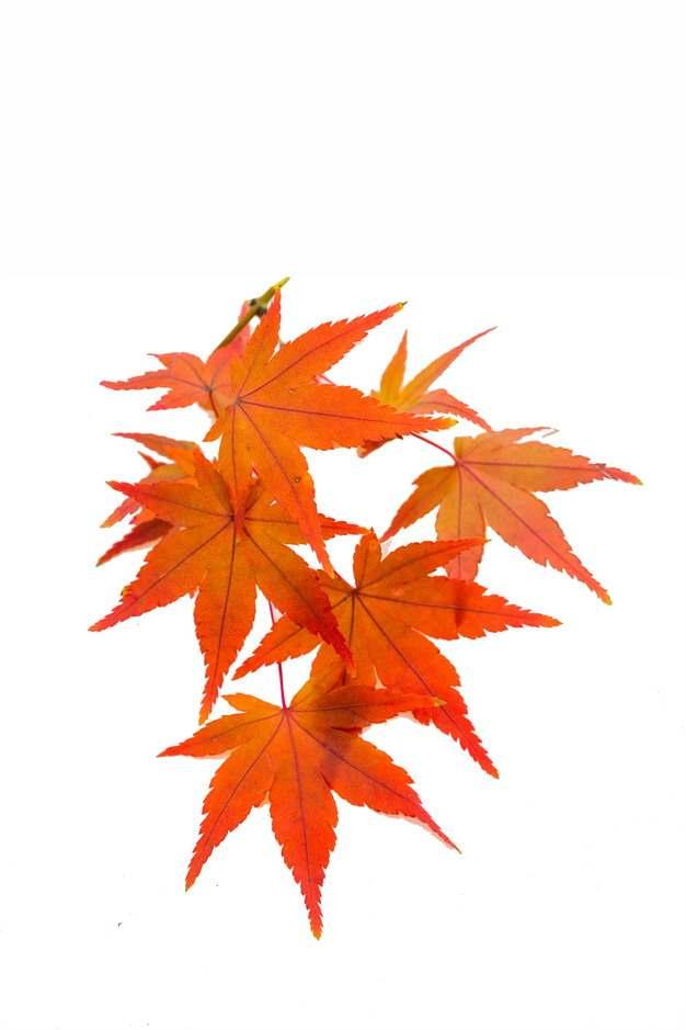 秋天里的几片火红的枫叶764237免抠图片素材