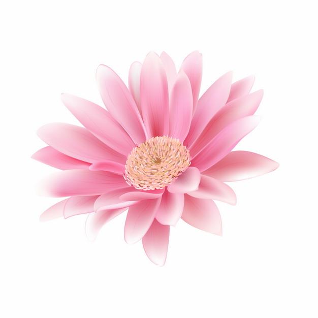盛开的粉红色花朵非洲菊487053EPS免抠图片素材 生物自然-第1张