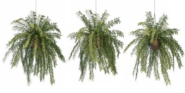三款3D渲染的桫椤异叶南洋杉吊兰盆栽绿植观赏植物194928免抠图片素材