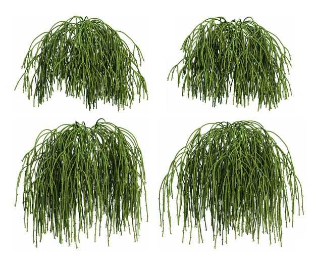 四款3D渲染的丝苇仙人掌科绿植观赏植物716567免抠图片素材