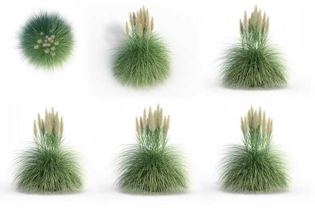 六款3D渲染的蒲苇盆栽绿植观赏植物656869免抠图片素材