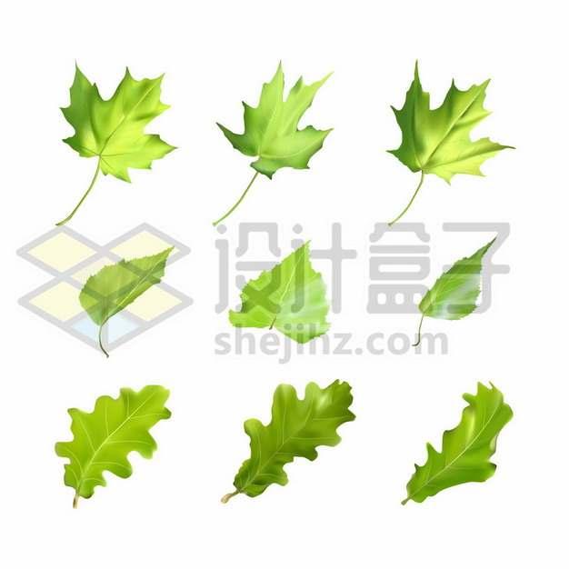 绿色的枫叶桑叶和无花果树叶502389图片素材
