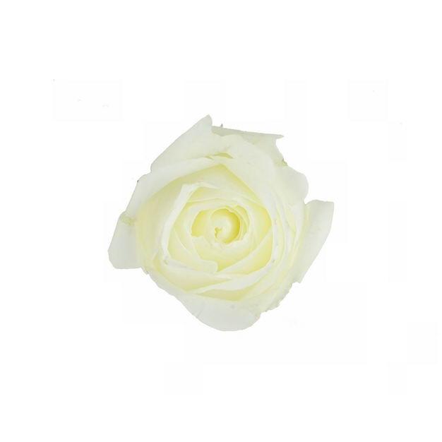 一朵白玫瑰花朵花卉白色花朵925409png图片免抠素材 生物自然-第1张
