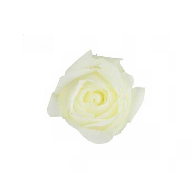 一朵白玫瑰花朵花卉白色花朵925409png图片免抠素材