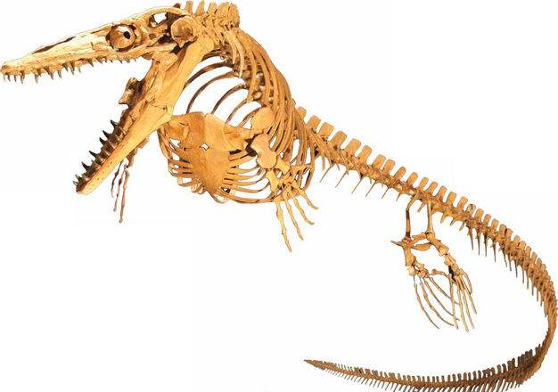 沧龙白垩纪海洋爬行动物化石骨架6232797png图片免抠素材