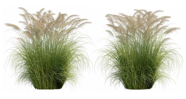 两款高清3D渲染的蒲苇绿植观赏植物366841PSD免抠图片素材 生物自然-第1张