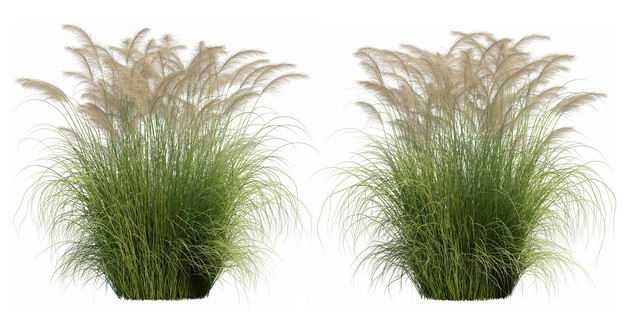 两款高清3D渲染的蒲苇绿植观赏植物366841PSD免抠图片素材